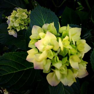 100601紫陽花.jpg